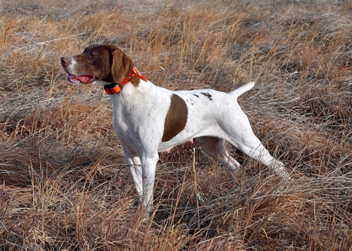 German Shorthaired Pointer | Birdhunter | Page 3