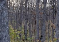 It looks dense but the late spring and lack of leaves gave the turkeys a good view of approaching hunters.