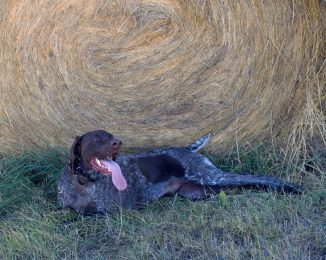 Overheated Tex cools off in the shade of a hay bale.