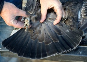 Blue grouse tail feathers